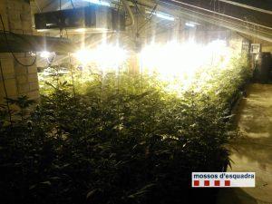 Plantació de marihuana en una casa de Piera